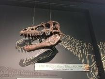 Albertosaurus 2 - Miller Museum Of Geology