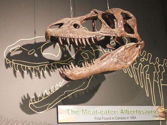 Albertosaurorus - Miller Museum Of Geology (1)